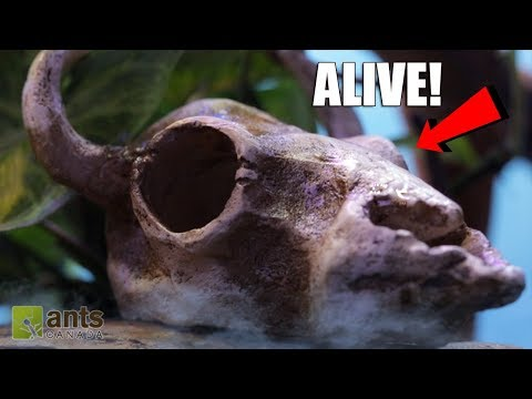 ANTS vs. DRAGON'S BREATH