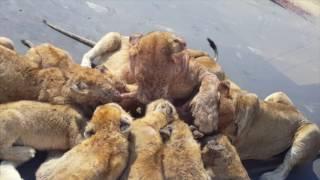 Львиное семейство жрет антилопу прямо около машины с туристами