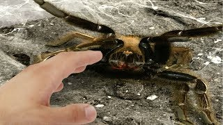 CLOSE CALL ATTACK FROM A DANGEROUS TARANTULA!!   BRIAN BARCZYK by Brian Barczyk