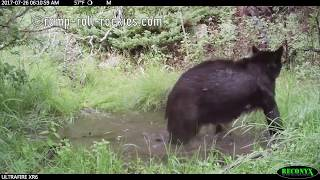 Video Adventures of a black bear mother and cub (July-August, 2017) MP3, 3GP, MP4, WEBM, AVI, FLV September 2017