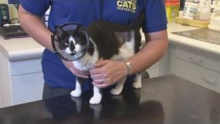 How To Neuter Your Cat