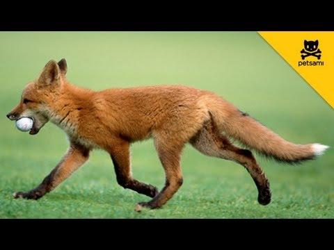 Una volpe ruba la palla da golf