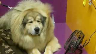 Nonton Sasha The Tibetan Mastiff  At Westminster Dog Show 2014 Film Subtitle Indonesia Streaming Movie Download