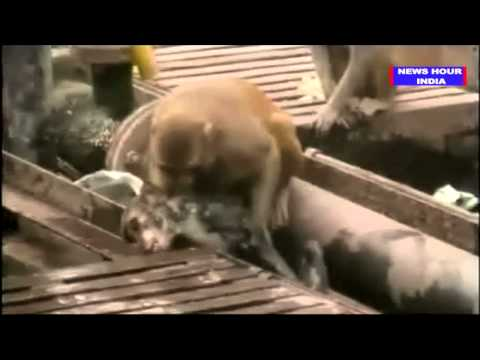 Kanpur - Monkey saves dying monkey at Indian train station Monkey saves dying friend at railway station Monkey saves dying monkey at Kanpur railway station in India M...