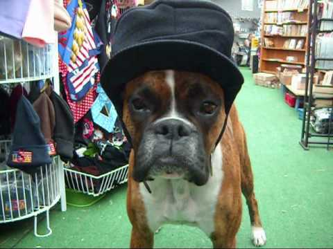 Really Funny Boxer Dogs