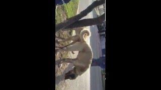 malaklı vs. sivas kangalı çiftleşme.