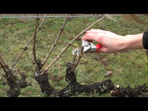 Spur Pruning Grapevines.mp4