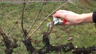 This is an instructional video on the process in spur-pruning grapevines. The vines used are trained to a bilateral cordon guyot...