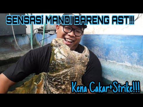 SENSASI MANDI BARENG AST (ALLIGATOR SNAPPING TURTLE)!!!