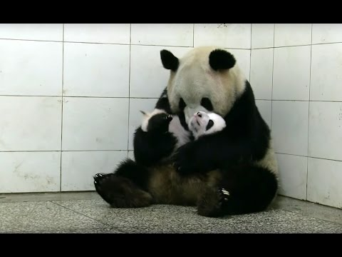 Baby Twin Pandas | Panda Babies | BBC Earth (видео)
