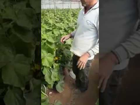 Adaga Tarım - Kadriye silor salatalık üreticisi ciftcimizin ürünlerimiz hakkında görüşleri
