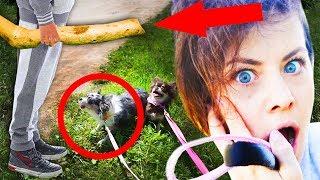 ПОДПИСЫВАЙСЯ на Magic Family - https://goo.gl/OZtOql и на Magic Pets - https://goo.gl/WBQw1jНа канале Anny Magic ЧТО Я НАШЛА! НОЧЬ В ГРОЗУ В ЗАБРОШКЕ - https://youtu.be/mlA20Ao9lHQЯ И СОБАКИ  НА БОЛЬШОЙ ПРОГУЛКЕ НО ЧТО ТО ПОШЛО НЕ ТАК ▼ЖМИ ЕЩЕ▼ Хай! Ты на канале Magic Family! Я Anny Magic и у меня есть#собаки Софи, Эйван, Миша, щенок Юми Чу породы #чихуахуа, и другие домашние животные и питомцы! На моем канале ты найдешь не только полезные советы для владельцев собак, лайфхаки, эксперименты, DIY,что будет если, интересные факты, дрессировку и уход, но и разные развлекательные видео с моими собаками и животными! САМЫЙ ЧАСТЫЙ ВОПРОС - Каким кормом я кормлю своих собак? Корм Платинум - https://myplatinum.ru/МЫ В СОЦСЕТЯХ:Моя личная страница ВК:http://vk.com/ilvreke Группа ВК о питомцах Magic Family:https://vk.com/mfpetsInstagram Magic Family:https://www.instagram.com/mfpetsКанал собак Magic Pets: https://goo.gl/WBQw1jМой канал Anny Magic:https://goo.gl/AECAZS Паблик ВК Anny Magic:https://vk.com/anny_magicЯ в Instagram:https://www.instagram.com/anny_magik/Я в Twitter:https://twitter.com/IlvrekeЯ в Facebook:https://www.facebook.com/1lvrekeСотрудничество -  magic@wildjam.ruХОЧЕШЬ ОТПРАВИТЬ ЧТО-ТО MAGIC FAMILY, вот адрес для посылок: 249930, Калужская обл., г. Мосальск, Ленина, 49, а/я 238, для Anny MagicВ этом видео РЕБЕНОК С ПАЛКОЙ У СОБАК ШОК! БОЛЬШАЯ ПРОГУЛКА С СОБАКАМИ ЧТО ТО ПОШЛО НЕ ТАК Magic Family - https://youtu.be/undOVonWlls - мы первый раз пошли на большую прогулку с моими собаками Мишей и Софи, а я поставила скрытую камеру для щенка Юми и Эйвана. По пути мы встретили много препятствий, которые пугали Мишку - лестницы, канава, злой кот, высокая трава, детская площадка, тоннель,  но что то пошло не так! Мы встретили мальчика с огромной палкой, я не успела снять все, потому что Миша очень испугалась, Софи в шоке, первый раз я видела, как Софи гавкает на ребенка так агрессивно!САМЫЕ КЛАССНЫЕ ПЛЕЙЛИСТЫ: СОБАЧЬЯ ЖИЗНЬ - https://goo.gl/KI26NEЩЕНОК ЮМИ В ДОМЕ -https: