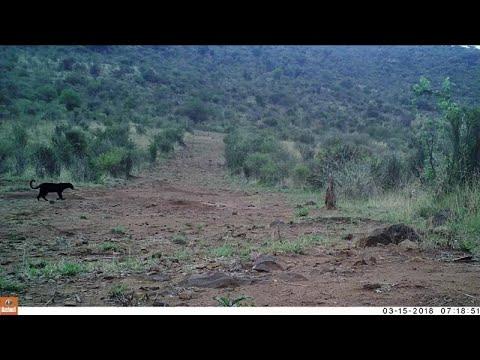 Η θρυλική μαύρη λεοπάρδαλη υπάρχει