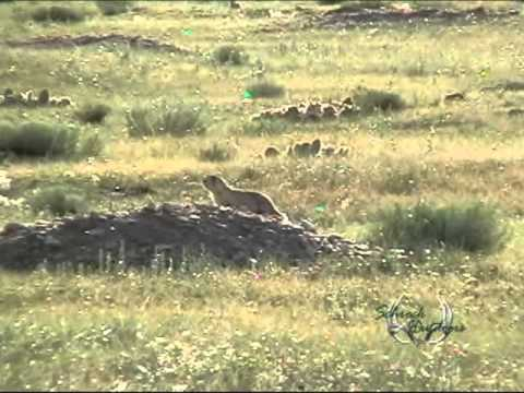 praire - Here is some fast paced prairie dog footage from Schrock Outdoors Please keep all comments clean.