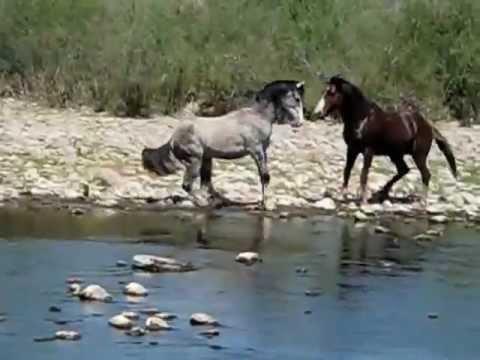 AZ Salt River Wild Horses Stallion foal mare