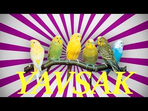 Video YAVŞAK SESİ Papağan ve Muhabbet kuşu  konuşma eğitimi Sesi hazır ses kaydı 1 saat download in MP3, 3GP, MP4, WEBM, AVI, FLV January 2017