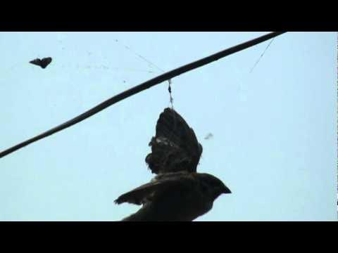 蜘蛛網竟然網住一隻鳥!太誇張…