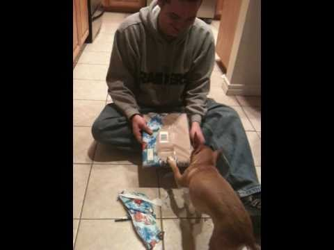 Chihuahua Opens Christmas Present
