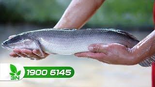 Thủy sản | Bí quyết nuôi cá lóc giúp cá lớn nhanh