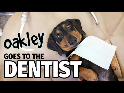 Ep 12: Oakley Goes to the Dentist (FINALE) - Cute Dachshund Video