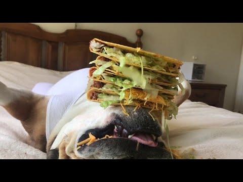 Chunkymonkey-koira ottaa rennosti – Taco Dog
