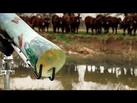 ragazzo inizia a suonare: la reazione delle mucche è incredibile!