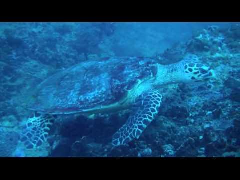 Tortugas Careta en Ko Phi Phi