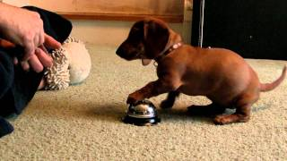 Maddie the 10 Week old Dachshund learning to ring a service bell! - YouTube