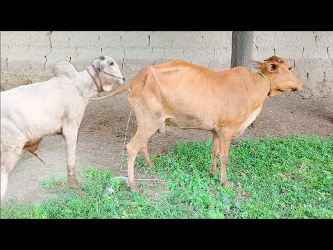 Real cow 🐄 Wao so cute meeting with a boy