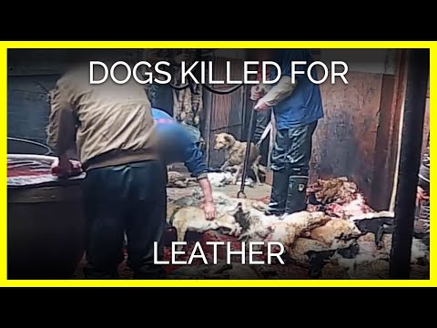 dogs - PETA Asia's undercover investigation reveals that dogs are bludgeoned and killed so that their skin can be turned into leather gloves, belts, jacket collar trim, cat toys, and other accessories....