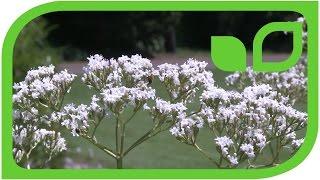 Valeriana officinalis - Baldrian
