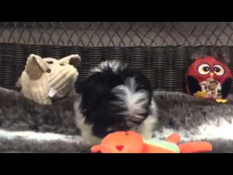 Fluffy, Black & White Female Peke-A-Tzu