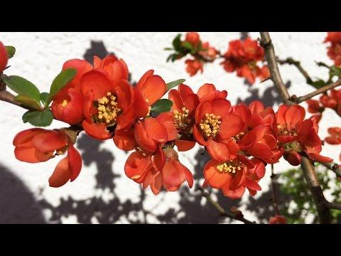 cydonia japonica – caratteristiche