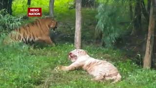 Royal-bengal-tigers-attack-white-cousins-at-bannerghatta-safari