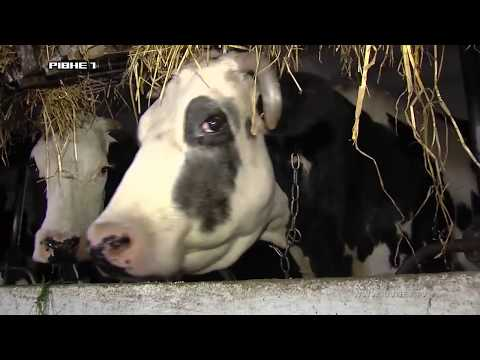 <a href='/Info/?id=85295' > Любов до справи у поєднанні з реаліями ведення молочного господарства на Рівненщині [ВІДЕО]</a>