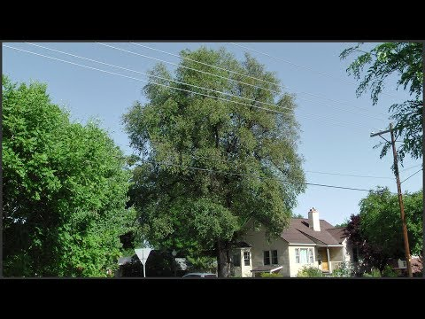 Diagnosing & Treating An Elm Tree Problem