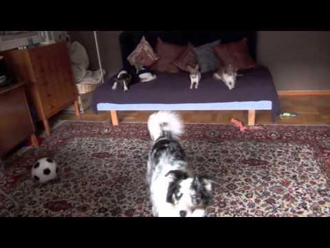 Splash tosses a football- clicker dog training tricks