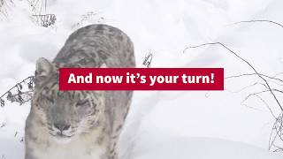 Today there may be as few as 4000 snow leopards left in the wild, yet on average one is still being killed every day. In 2013 ...