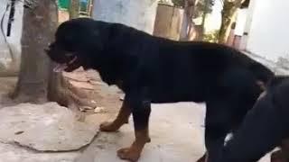 Phối giống Rottweiler
