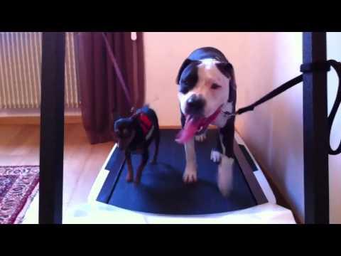 amstaff-pitbull e pinscher sul tapis roulant