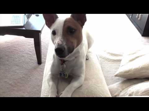 JACK RUSSELL TERRIER (JRT) -Dexter, crazy little dog in the big city; Home #4