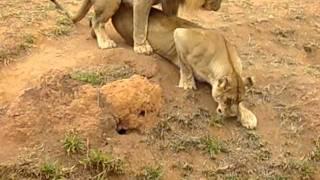 Leão do zoológico de BH
