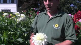 #845 Dahliensorten - Hapet Geysir