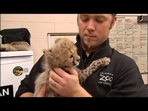 Cheetahs - A behind-the-scenes look at four baby cheetahs and their unusual journey to the Columbus zoo.