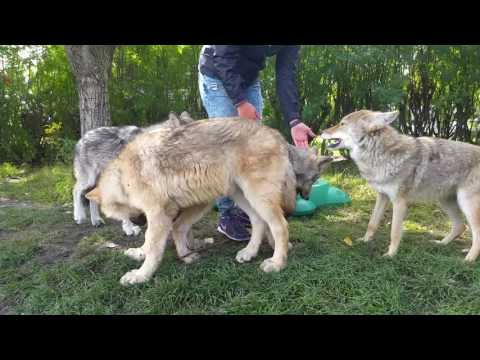 5 Month Old Wolf Pups