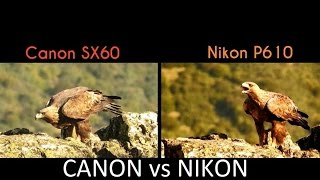 Canon SX60 vs Nikon P610 : Águia-real * Golden Eagle