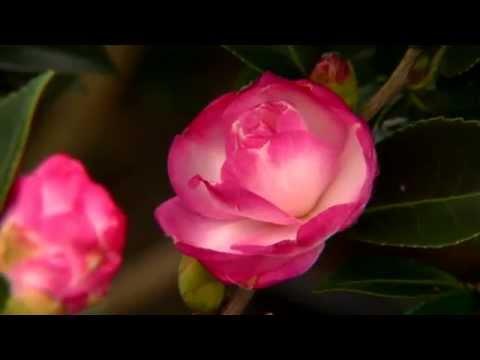 la camellia - cure e caratteristiche