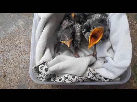 Cho Chim Cưỡng Non Mới Bắt Ăn. Cận cảnh chim cưỡng con. Cùng xem