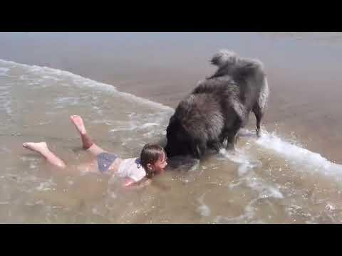 Pies obserwuje dziecko kąpiące się w morzu. Gdy pomyślał, że dziewczynka tonie od razu rusza