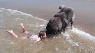 Pies obserwuje dziecko kąpiące się w morzu! Gdy pomyślał, że dziewczynka tonie, zaczął ją ratować!